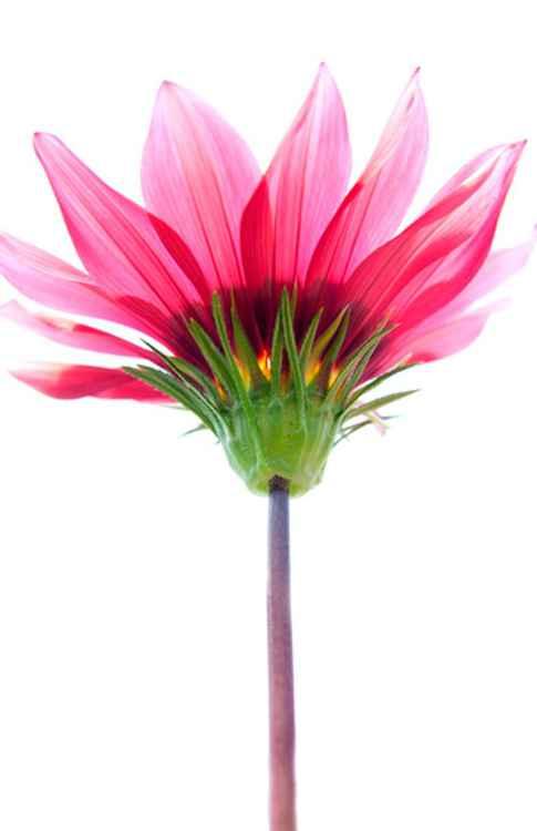Botanical Pink -