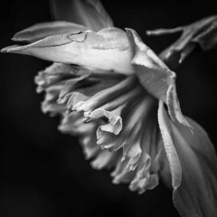 Daffodil in Black & White