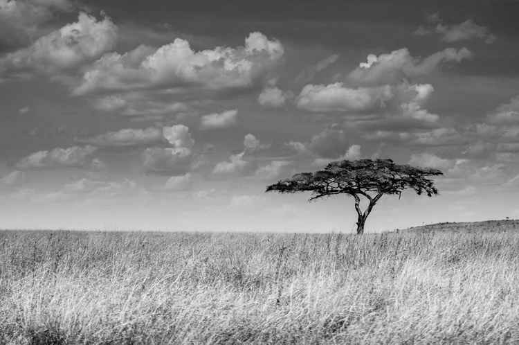 ONE SERENGETI SAVANNAH TREE LIMITED EDITION 2/20 -