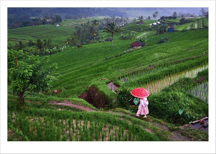 Jatiluwih Rice Terrace, Bali. - Image 0