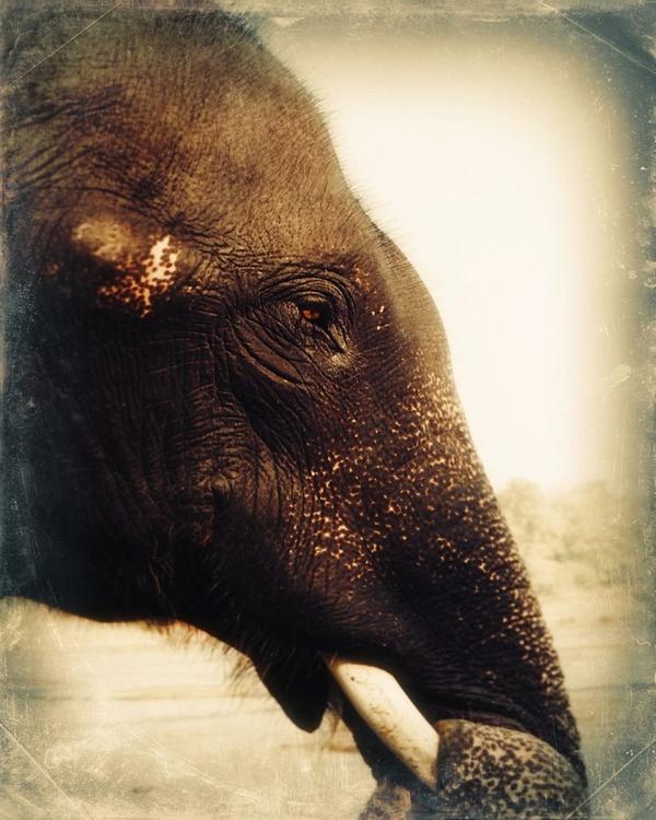 Indian elephant portrait - Image 0