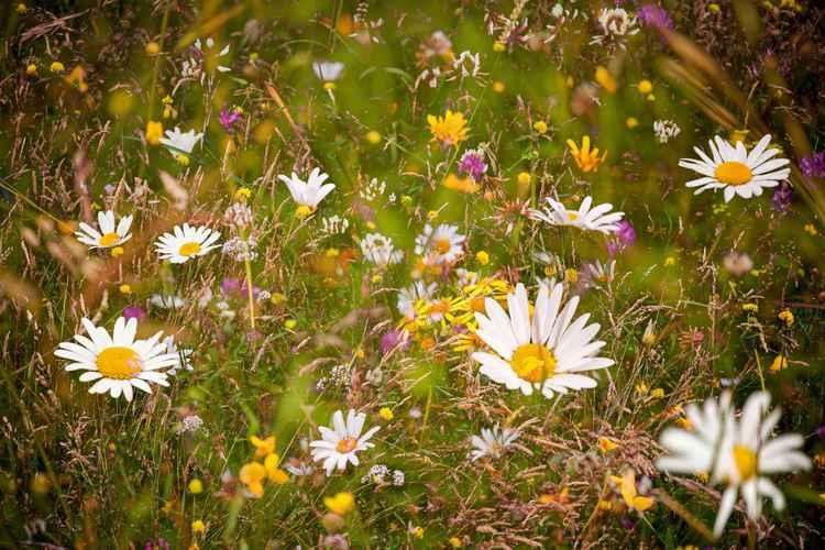 Summer meadow Mélange