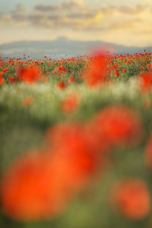 Herefordshire Poppies - Image 0