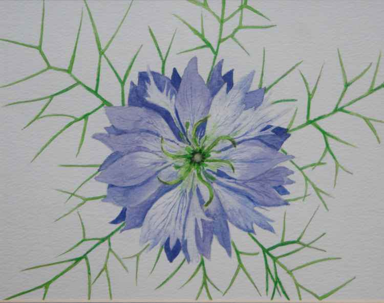 Love-in-a-mist -