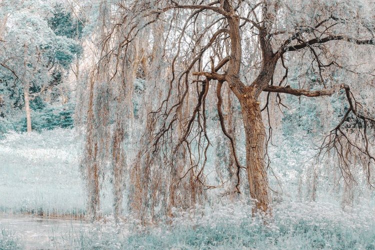 Secret Life of the Willow Tree.  Nature in Alien Skin (Ltd Edition of only 20 Fine Art Giclee Prints from an original photograph) - Image 0