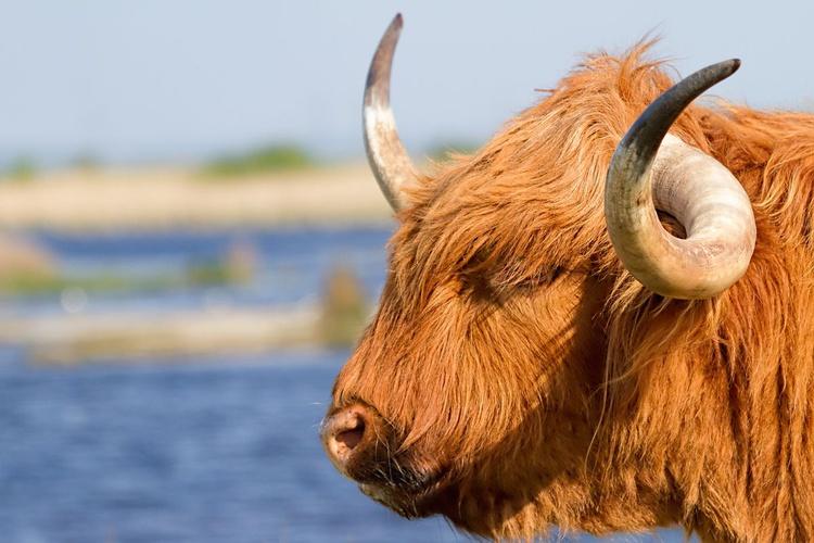 Highland Cattle portrait - Image 0