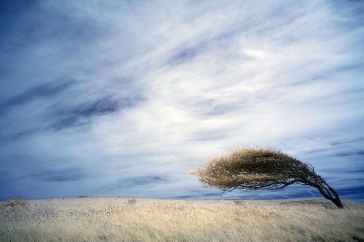Bent tree, Cuckmere Haven. - Image 0