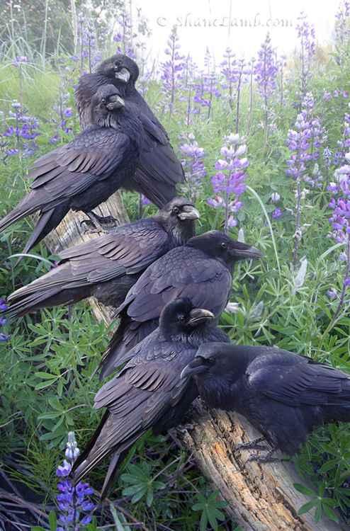Raven Rendezvous -