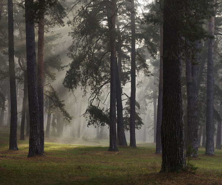 Misty Autumn Forest With Pine Trees Print - Image 0