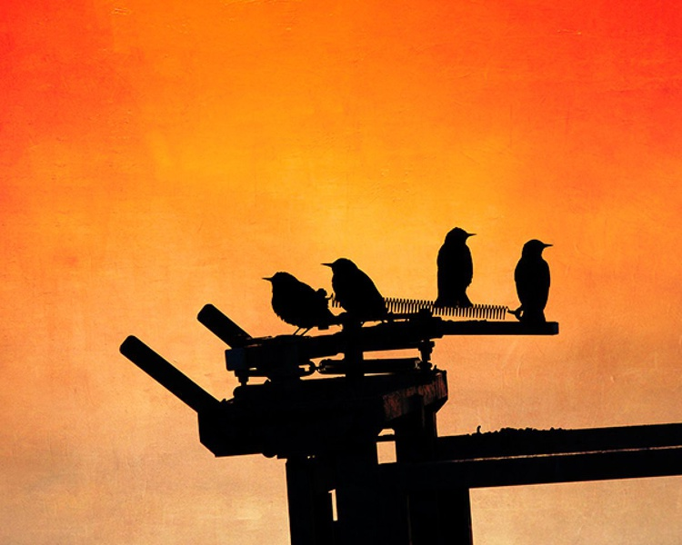 Starlings - Image 0