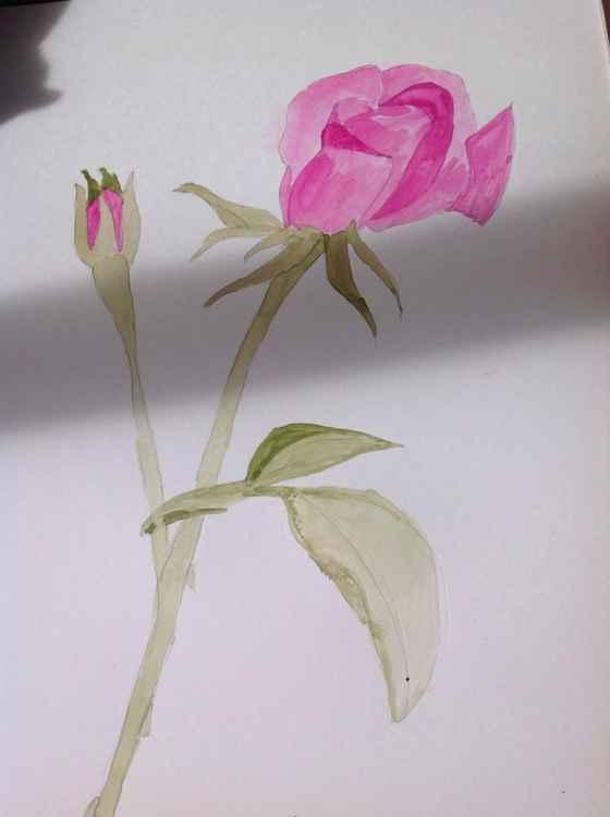 Rose study -