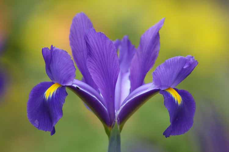 Iris dreams -