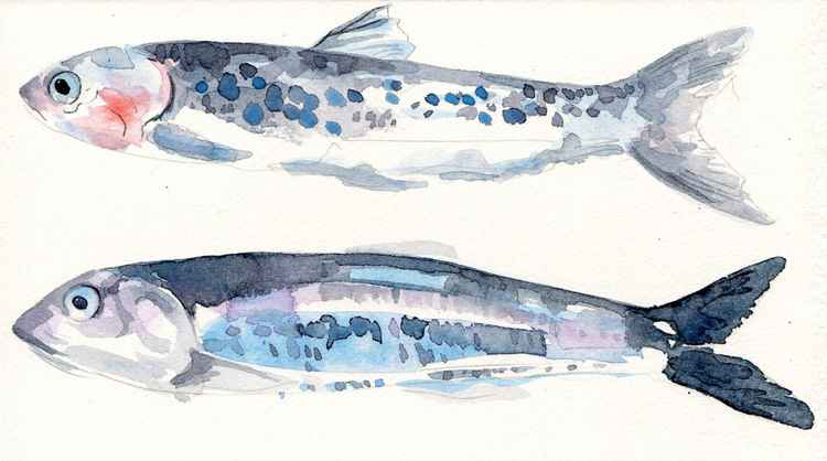 Original Watercolour Two Anchovies Painting