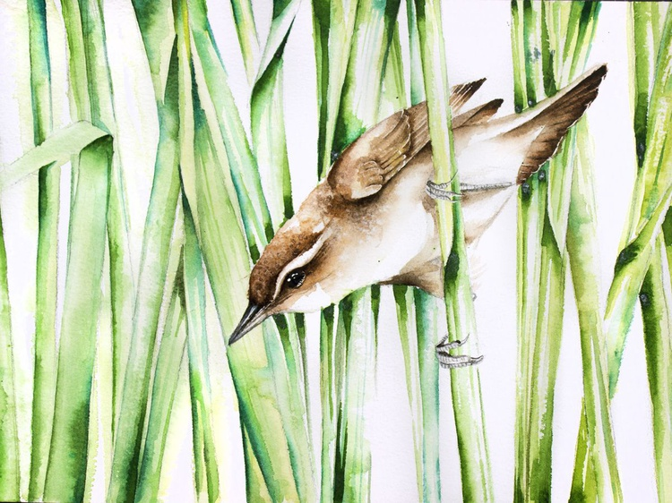 Great Reed-Warbler ,birds, animals, wildlife watercolour painting - Image 0