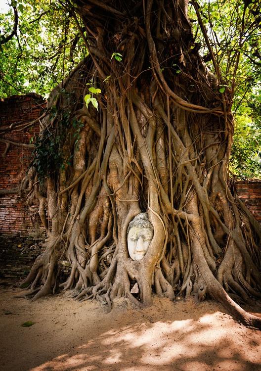 Embraced Buddha Head, Ayutthaya. (42x59cm) - Image 0