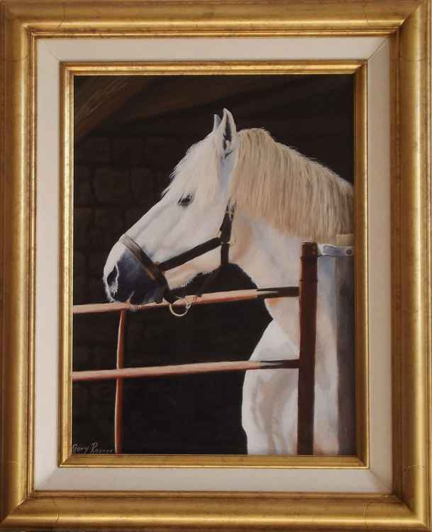 Percheron Stallion -