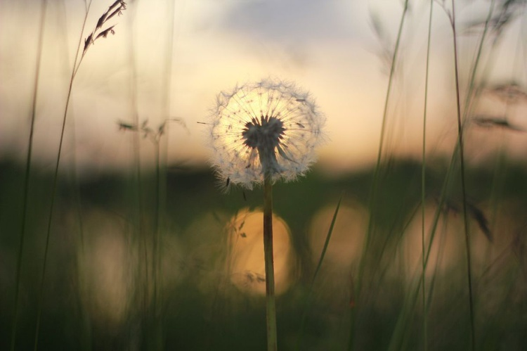 Dandelion By The Lake, At Sunset - LARGER - Image 0