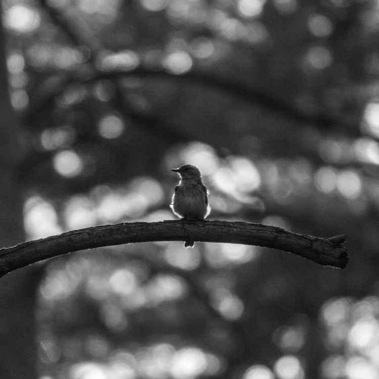 Flycatcher -