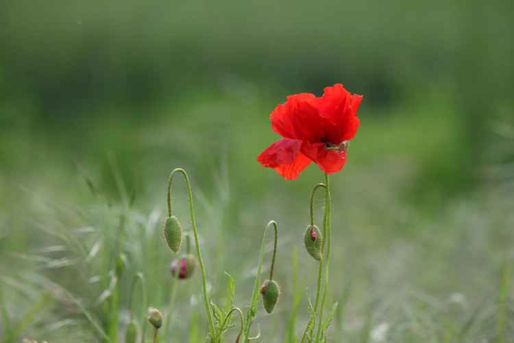 New poppies -