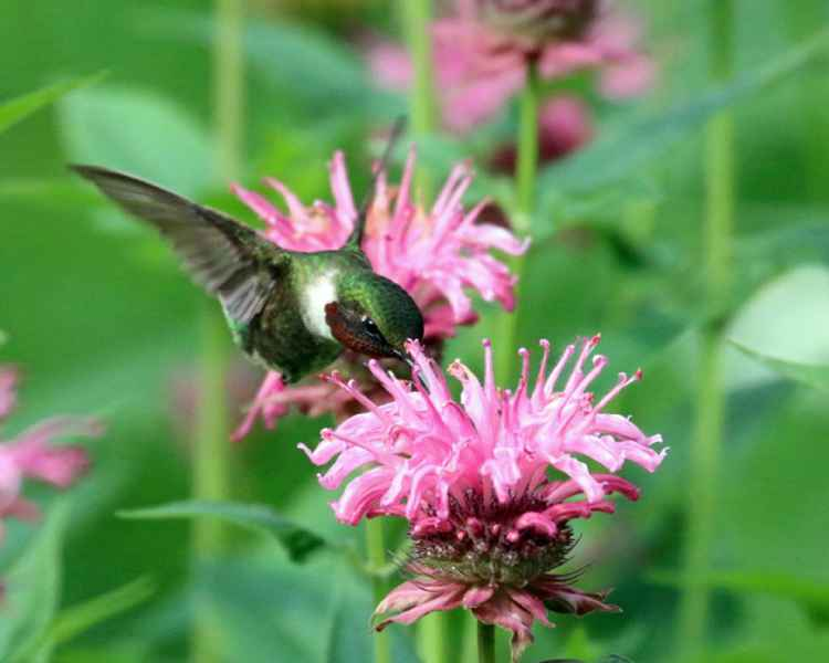 Ruby throat Hummingbird in  Bee balm