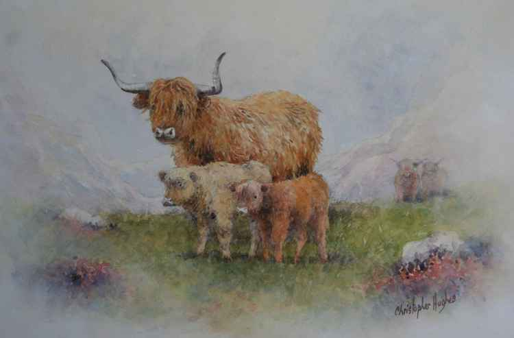 Highland Cattle -