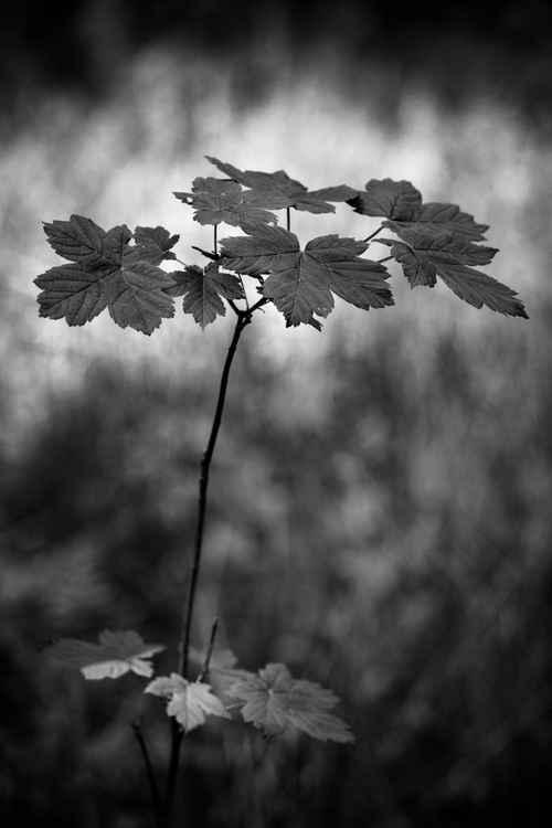 Sycamore sapling -