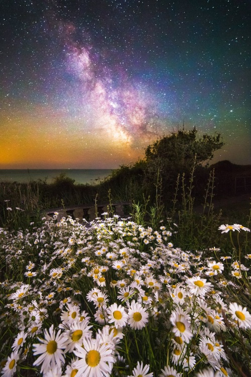 Daisies Under A Starlit Sky - Image 0