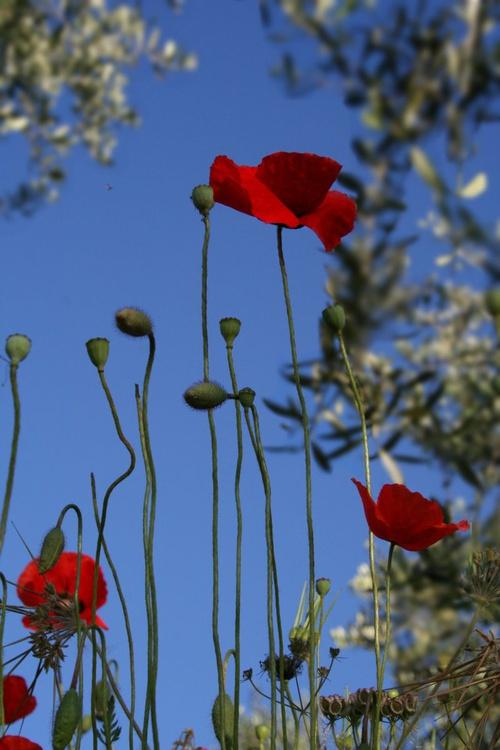 Landscape Poppies - Image 0