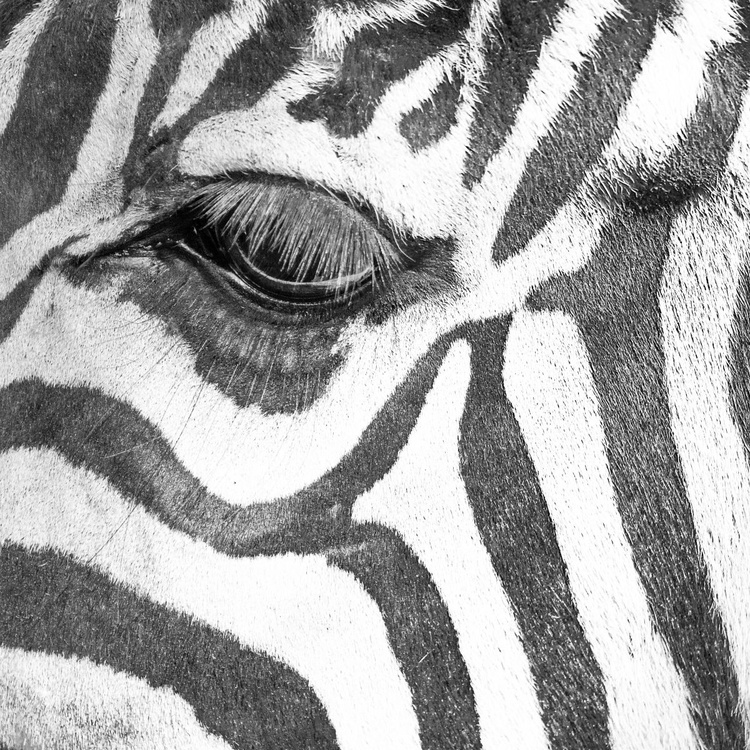 The eye of Zebra - Image 0