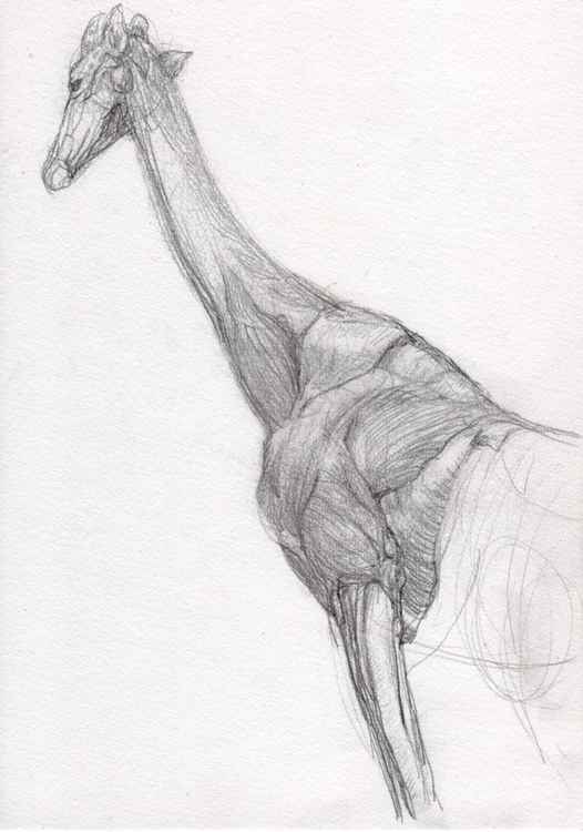 Anatomical sketch of a Giraffe -