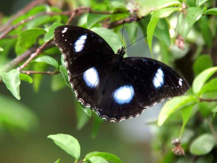 Jacintha Eggfly -