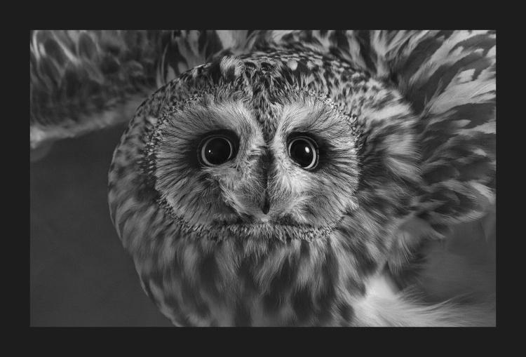 Fancy Short-eared Owl #2 - Image 0