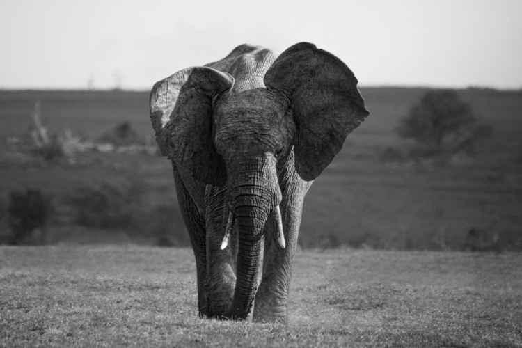Lone elephant 3 -