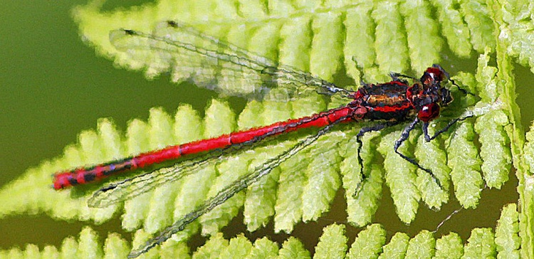 DRAGONFLY - Image 0