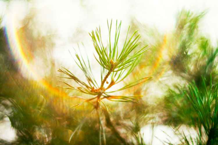 Pine in the Sunlight -