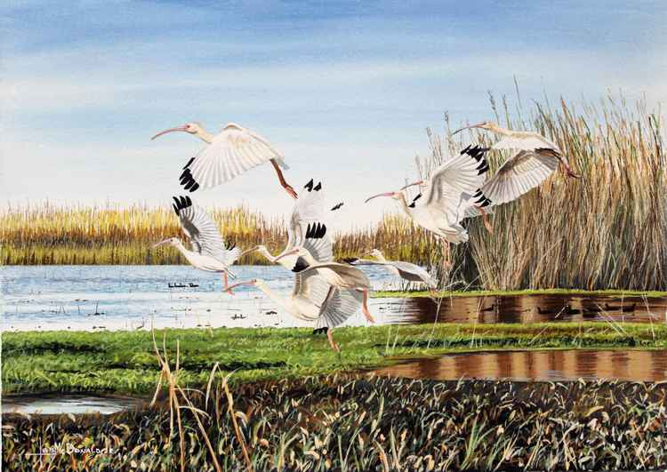 White Ibis -
