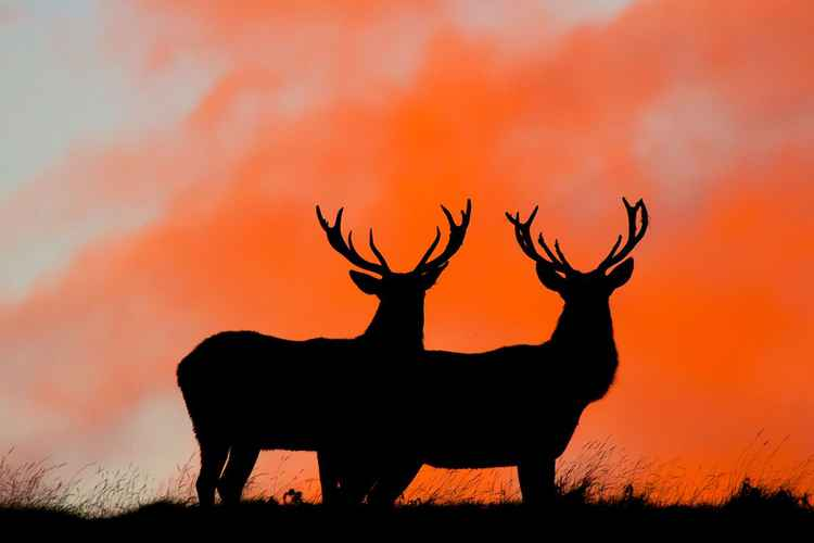 Silhouette of two red deers against a orange sky