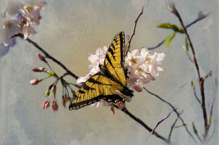 Cherry Blossoms Butterfly -