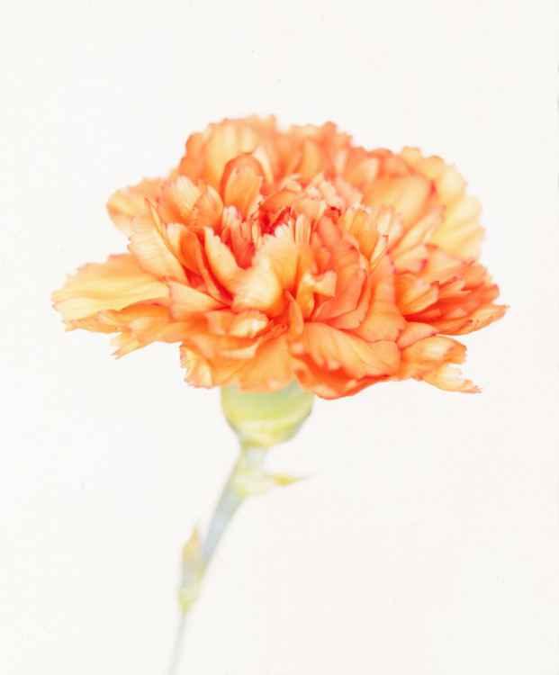Orange Carnation -