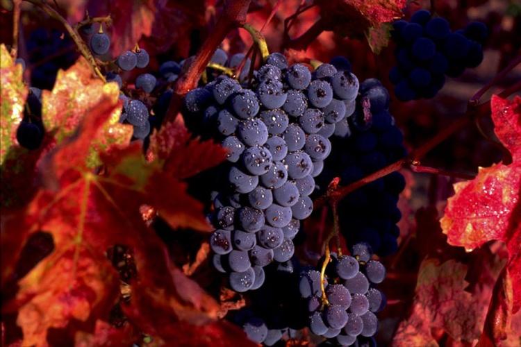 Zinfandel Grapes - Image 0