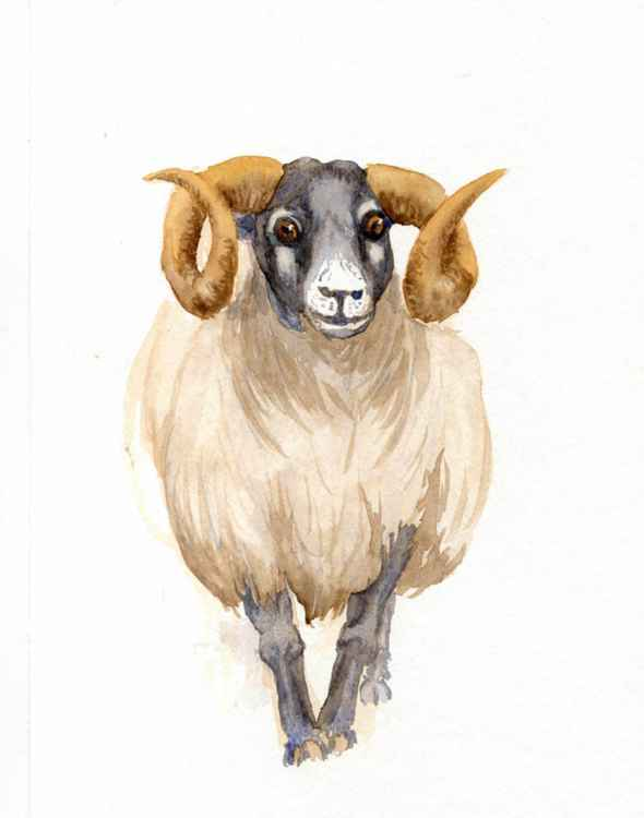 Black Faced Ram -