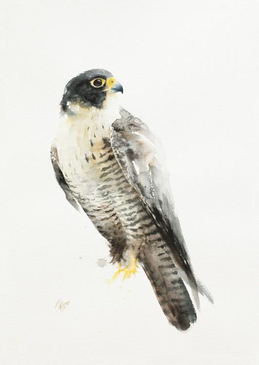 Falco peregrinus (Peregrine Falcon) - Image 0
