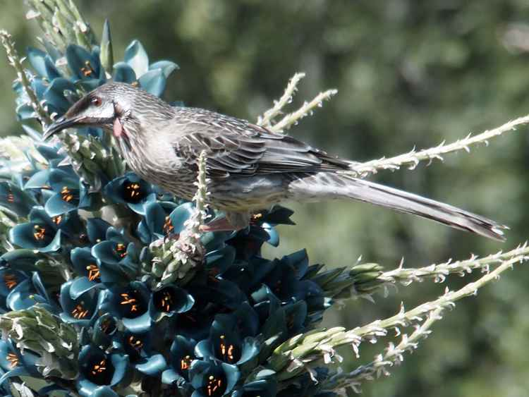 Wattlebird and puya