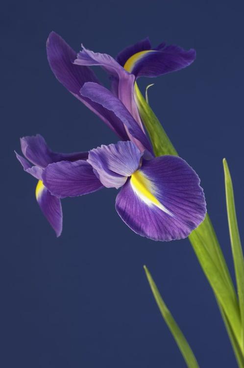 Iris on a Blue Background. - Image 0