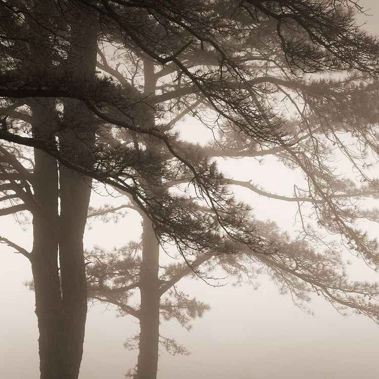 Pines in Fog -