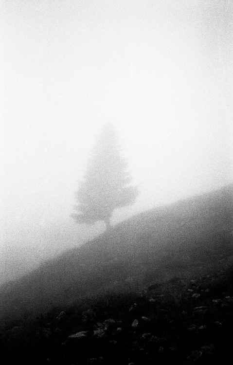 Fog Tree -