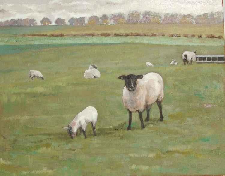 Spring Lambs at Tixall Farm