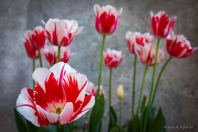 Tulip - Villa D'Este n. 10 -