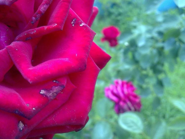 Rosa bella - Image 0
