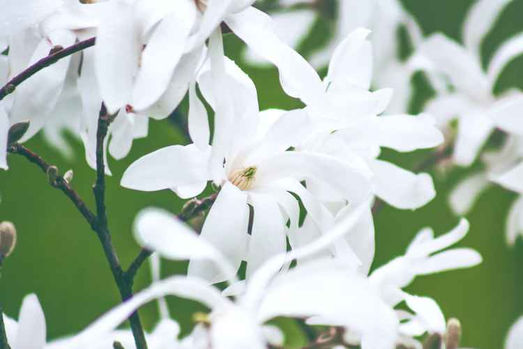 White Magnolia, 2015 -